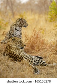 Resting Mating Leopards