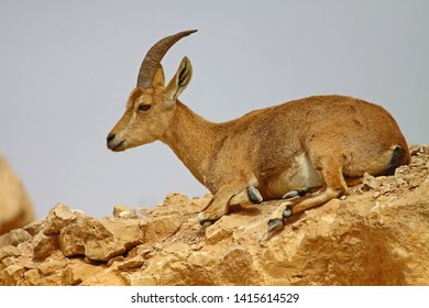 Resting Nubian ibex (Capra nubiana) on a cliff in Mitzpe Ramon, Israel