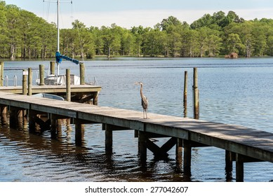 Resting on a dock at a fishing amp on the Chickahominy River just west of Williamsburg Va.