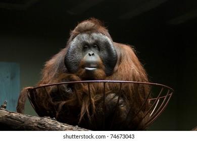 Resting Orangutan in cage