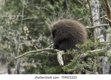 Resting Porcupine in a Tree