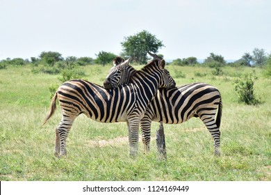 resting position of zebras,South Africa