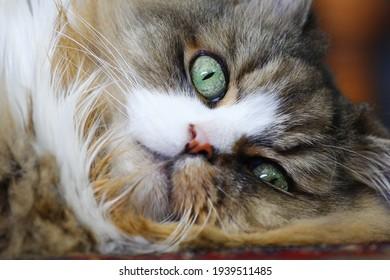 Resting Ragamuffin Purebred Cat on the Floor