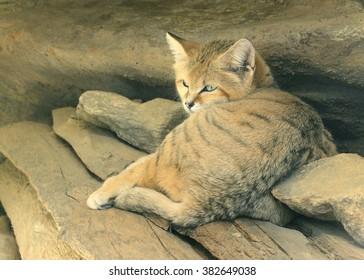 sand cat images stock photos vectors shutterstock
