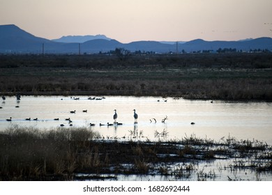 Resting sandhill cranes and ducks in a pond in Southern Arizona
