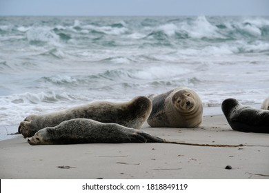 Resting seals in Grenen were the north sea meets the baltic sea, Skagen, Denmark, Europe