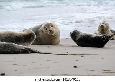 Resting seals in Grenen were the north sea meets the baltic sea, Skagen, Denmark, Europe