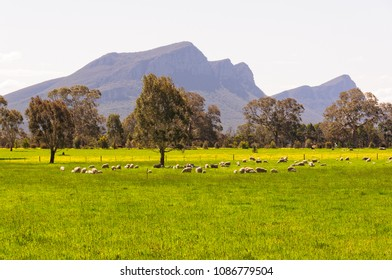 Resting sheep on green pastures at the foot of the Grampians Ranges - Dunkeld, Victoria, Australia