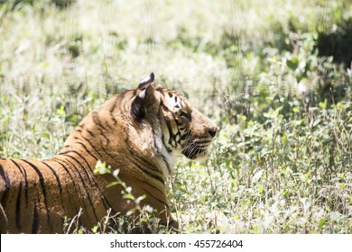 Resting tiger, high key