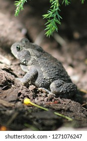 A resting toad sitting in the mulch