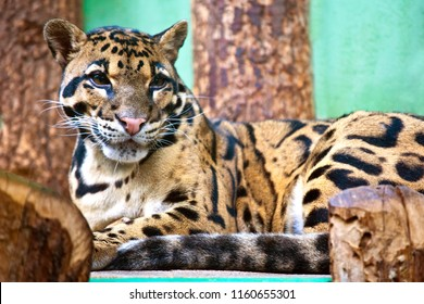 resting wild cat: Neofelis nebulosa / Clouded leopard