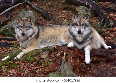 resting wolves,nature reserve in Germany
