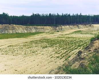 Restoration of a part of the mined glass sand quarry, planting a young pine forest. Dunes of sand quarry,