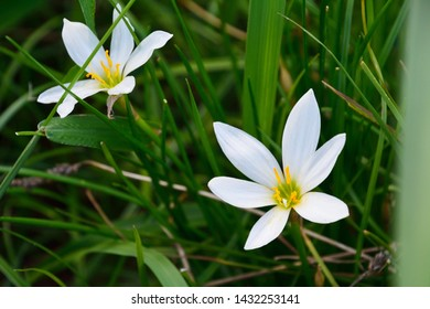 Resurrection lily or magic lily (Lycoris squamigera) are flowering