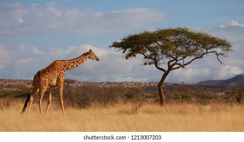 Reticulated African Giraffe with Acacia Tree Savanna Scene