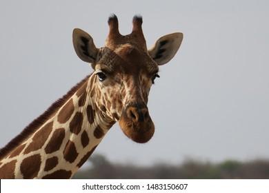 reticulated giraffe in the african bush
