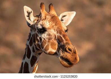 Reticulated Giraffe, Giraffe camelopardalis reticulata, Kenya, Africa, Artiodactyla Order, Giraffidae Family