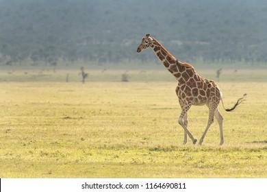 Reticulated Giraffe (Giraffa camelopardalis reticulata) - Solitary Stroll