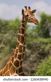 Reticulated giraffe (Giraffa camelopardalis reticulata), Samburu National Game Park Reserve, Kenya, East Africa