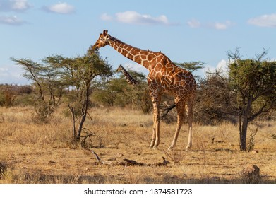 Reticulated giraffe Giraffa camelopardalis reticulata stretches bends to feed thorn bush sweet shoots Samburu National Reserve Kenya blue sky distance copy space vulnerable species birds on back