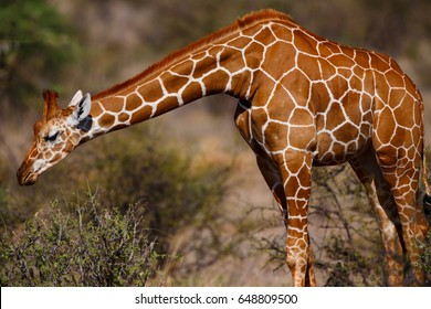 Reticulated giraffe (Giraffa camelopardalis reticulata) in Samburu National Reserve, Kenya