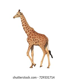 Reticulated Giraffe isolated on white background
