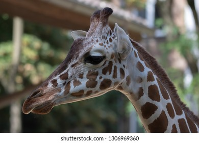 Reticulated giraffe with the long neck