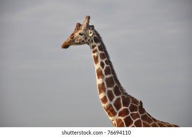 Reticulated giraffe and oxpecker birds in Kenya