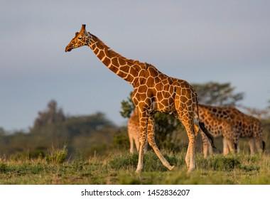 Reticulated Giraffe walks right to left in profile