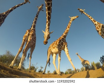 Reticulated Giraffes close up wide angle view