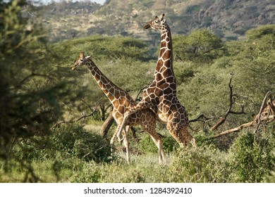 Reticulated giraffes mating, Samburu Game Reserve, Kenya
