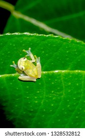 Reticulated Glass Frog on a Leaf