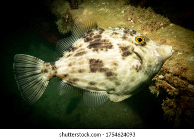 Reticulated leatherjacket tropical fish (latin: Stephanolepis diaspros) seen during diving in United Arab Emirates in Arabian Sea. Black background.