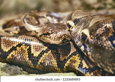 Reticulated python, one of the largest snakes in the world. There are reported cases of humans swallowed.
