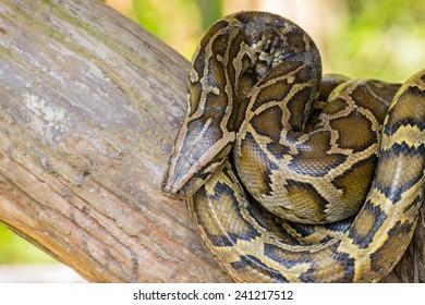 Reticulated python or Python reticulates