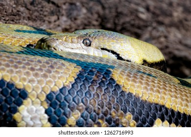 Reticulated Python, Python reticutatus s a species of python found in South Asia and Southeast Asia