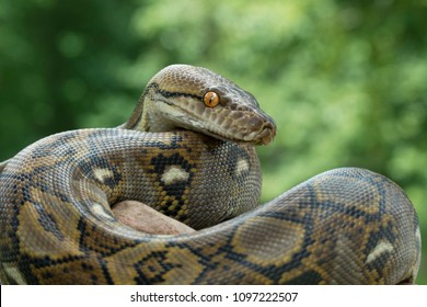 Reticulated Python Snake