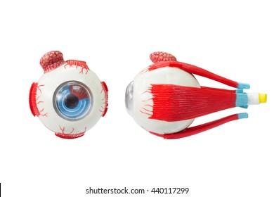 Retinal model isolated on white background