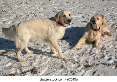The retriever a dog