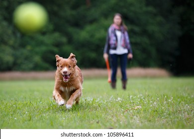 Retriever dog running fast to catch a yellow tennis ball, on a field with green grass in the forest