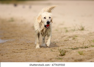 Retriever dog running with toy in his teeth