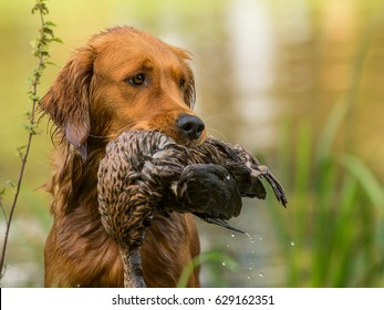 Retriever with duck