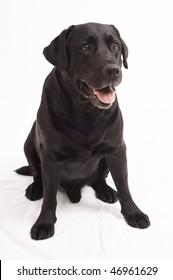 Retriever Labrador dog of a black shade in studio