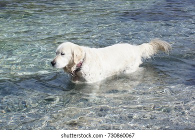 Retriever playing on the beach