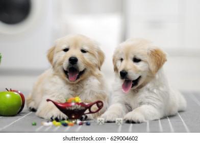retriever puppies