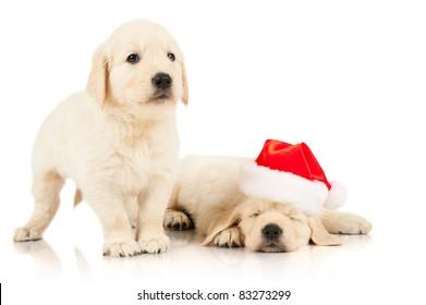 retriever puppy in a Santa Claus hat