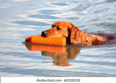 Retriever Training - Gun Dog