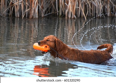 Retriever Training - Gun Dog