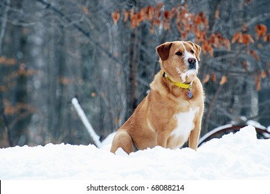 Retriever/lab mix dog on the alert on a cold winter day