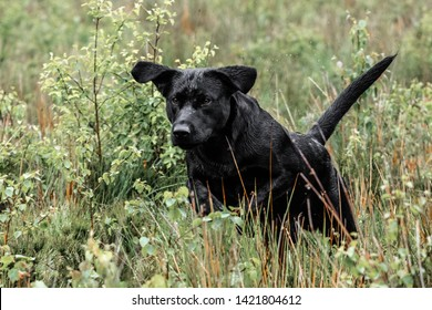 Retrievers Labrador Gundog Gun Dog Training